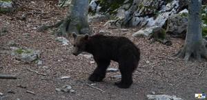 Goiat, fotografiado poco después de ser liberado en el parque natural del Alt Pirineu, en el Pallars Sobirà.