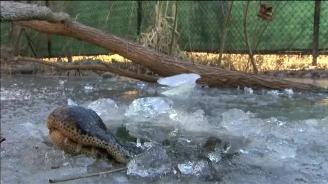 Estos reptiles despliegan un mecanismo peculiar para mantener la temperatura durante la hibernación.