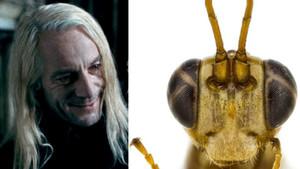 Jason Isaacs, intérprete de Lucius Malfoy en las películas de Harry potter, y la recién descubierta avispa 'Lusius malfoyi'.