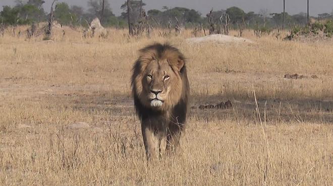 Cecil estaba considerado el león más atractivo de Sudáfrica.
