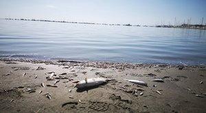Peces muertos en una de las playas del Mar Menor, en Murcia.