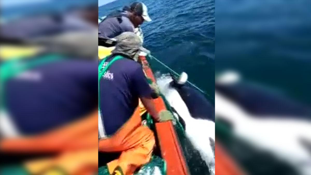 Liberan a la orca cuando la oyeron llorar.