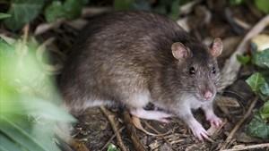Una de las ratas que se asoman al parque de la Ciutadella.