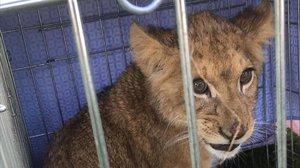Un home troba un cadell de lleó abandonat a Holanda