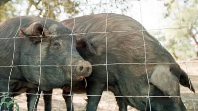 Los últimos secretos del cerdo