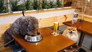Tarde de perros en Entredogs. Fox (el pequeño pomerania) posa delante de una caña en plan Homer Simpson mientras Luigi (el perro de aguas) devora un cuenco. Es paripé canino. Aquí los perros se toman la cerveza a pie de mesa. Hay 12 camas.