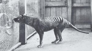 Ejemplar de tigre de Tasmania en la jaula de un zoológico