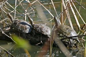 El Zoo de Barcelona alliberarà 26 tortugues al delta del Llobregat