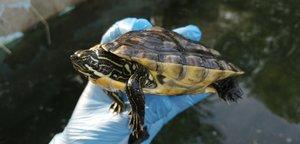 El Grup d'Investigació de l'Escola de la Natura de Parets captura 221 exemplars de fauna exòtica durant el 2019