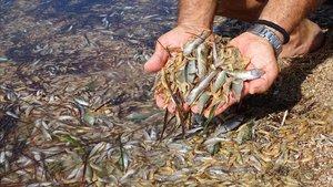 Peces muertos en el Mar Menor el pasado fin de semana.