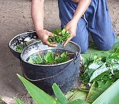 Detingut un xaman per violar una dona després de donar-li ayahuasca