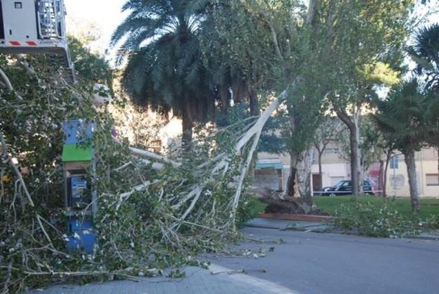 Un dels arbres que han caigut avui a causa del fort vent a Badalona.