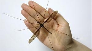 Hallado un supermosquito de 11 centímetros