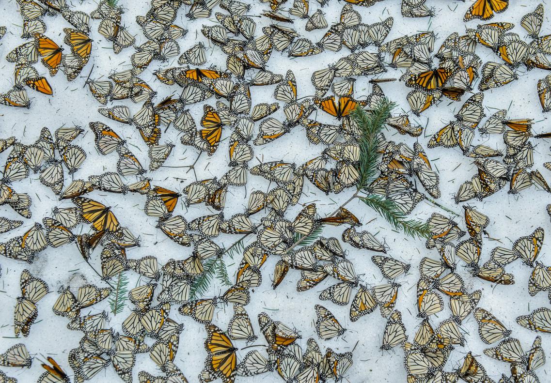 Monarcas en la nieve, imagen tomada por el fotógrafo español Jaime Rojo de mariposas monarca en México.