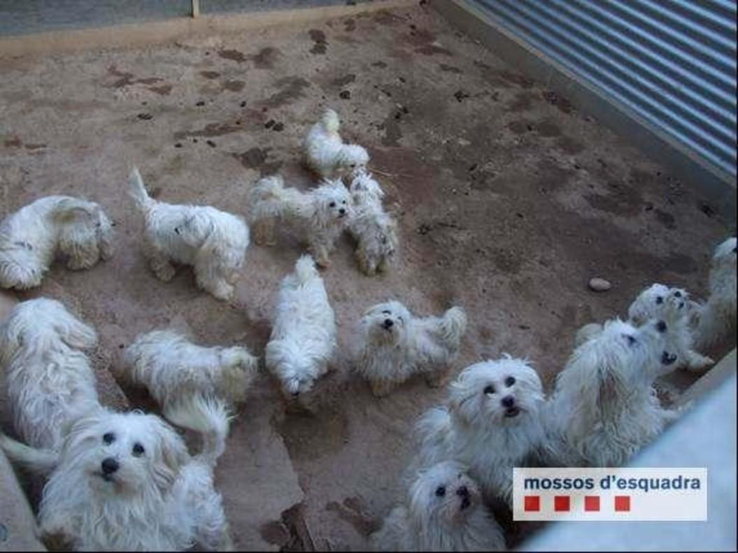 Algunos ejemplares de perro enel criadero clausurado por los Mossos d'Esquadra.