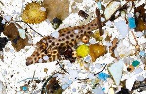 Una cría de pez tropical (Aluterus scriptus) destaca entre decenas de residuos plásticos recogidos enla superficie oceánica de Hawái
