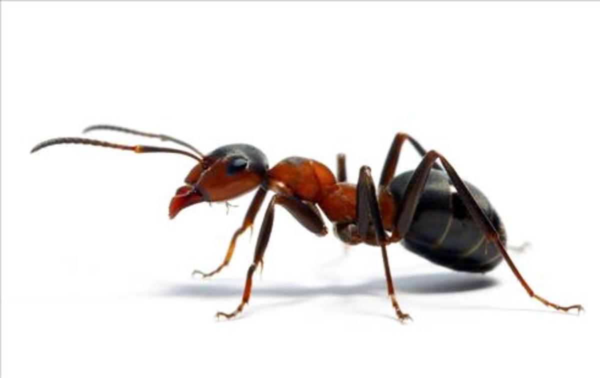 Resultado de imagen de hormiga