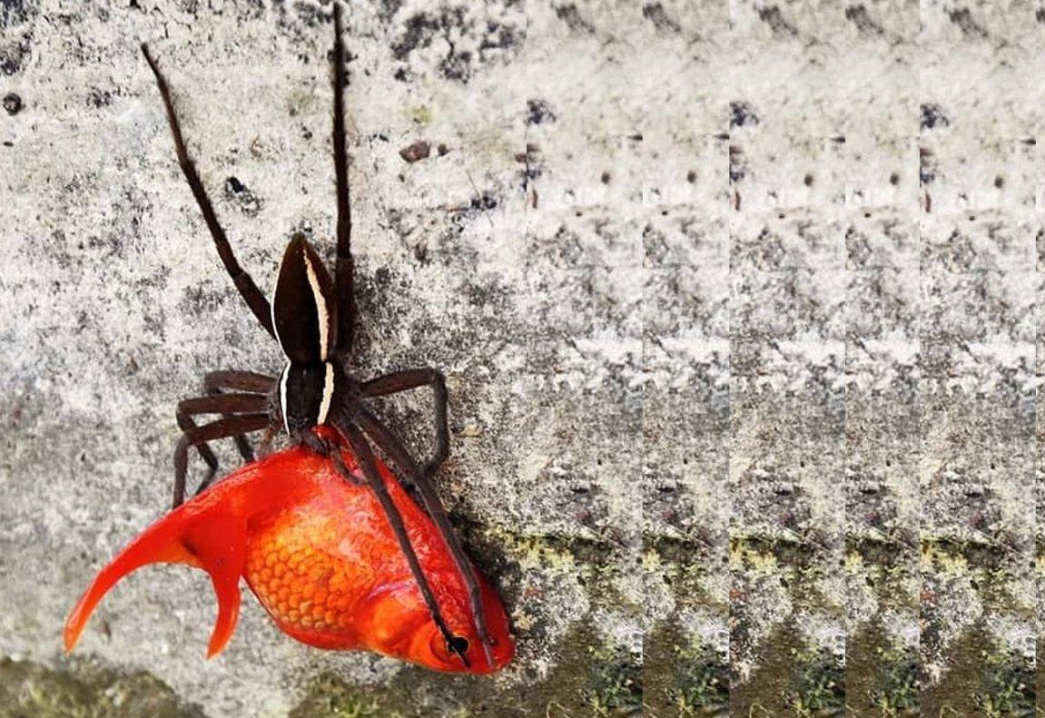 A pesar de ser la mitad del tamaño del pez, la araña hambrienta logró arrastrar increíblemente a su presa por el muro vertical de hormigón en el borde del estanque.