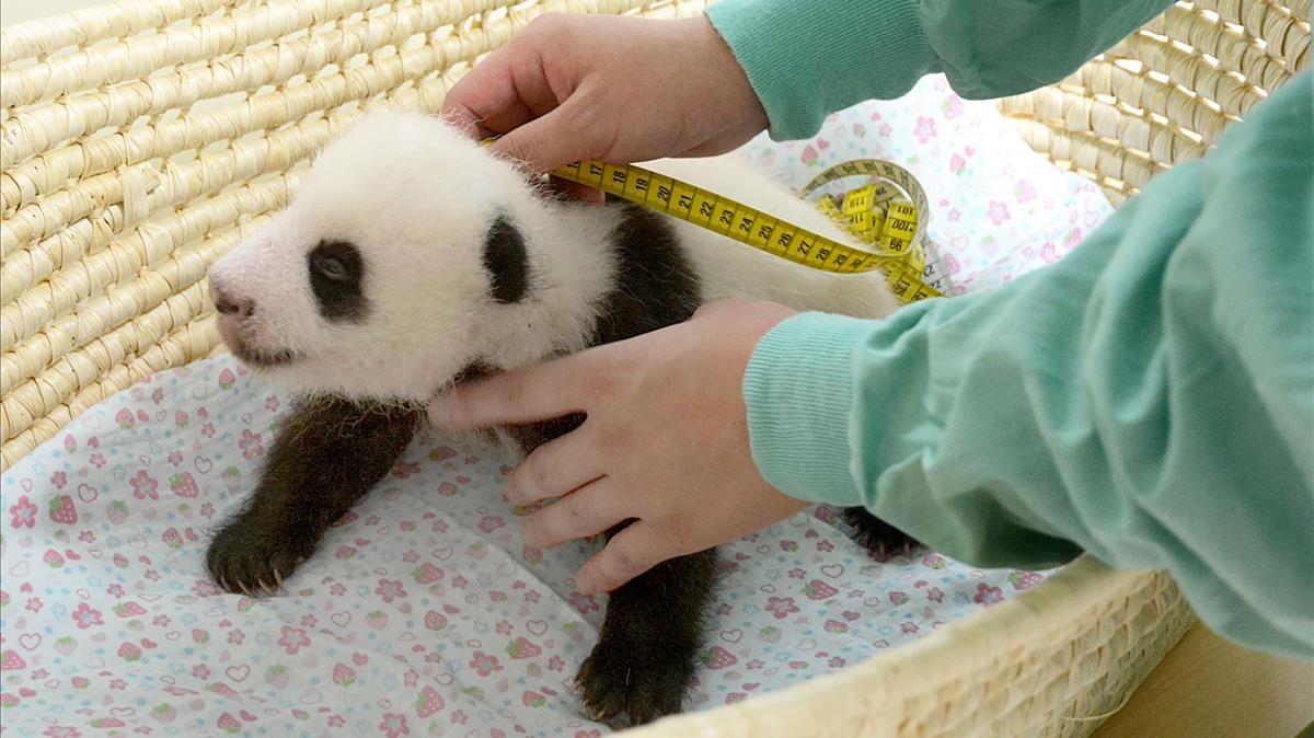 Uno de losmellizos de panda gigante en Tokyo