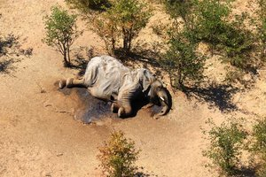 A dead elephant is seen in this undated handout image in Okavango Delta, Botswana May-June, 2020. PHOTOGRAPHS OBTAINED BY REUTERS/Handout via REUTERS ATTENTION EDITORS - THIS IMAGE HAS BEEN SUPPLIED BY A THIRD PARTY. NO RESALES. NO ARCHIVES.