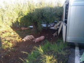 Bolca un camió amb 200 porcs a l'Alt Camp