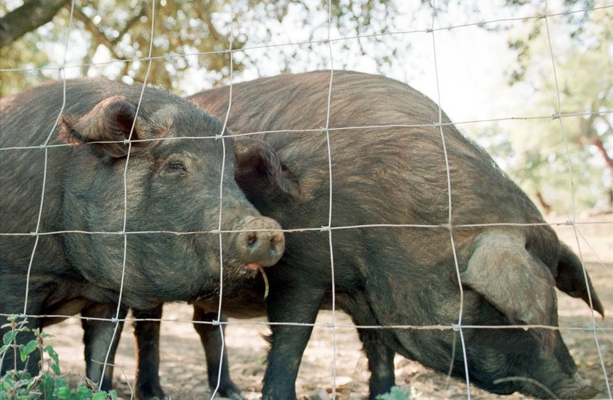 Cerdos ibéricos, en una explotación ganadera de Huelva.