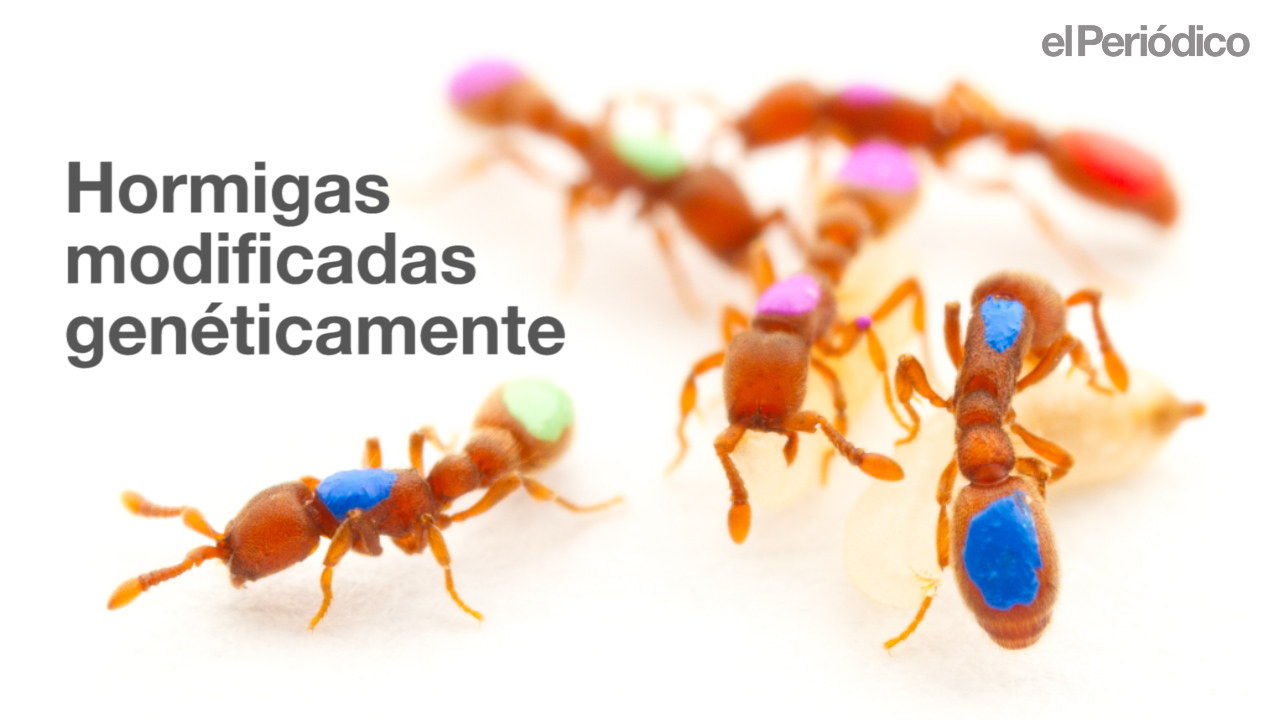 La ciencia consigue los primeros insectos sociales transgénicos