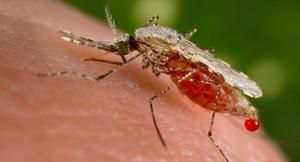 Un mosquit Anopheles stephensi obté una mostra de sang dun hoste humà.