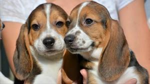 Dos cachorros de la primera camada concebida por fecundación in vitro