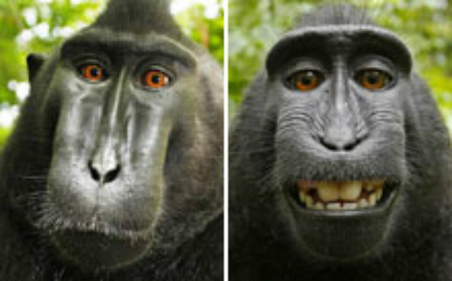 Autofotos dels macacos a Indonèsia.