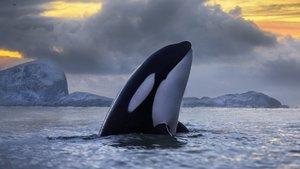 Ejemplar de orca asesina