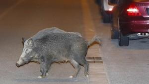 Un senglar ataca una família al parc del Tibidabo