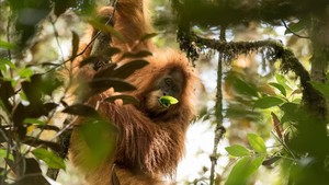 Ejemplar de orangután
