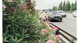 La adelfa, una de las plantas más venenosas del planeta, sigue a la venta en España