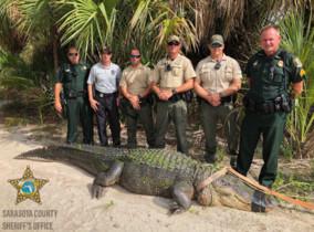 Capturen un caiman de quatre metres, el més gran que s'ha vist en 20 anys
