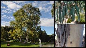 Els eucaliptus rojos del jardí de Jacint Verdaguer