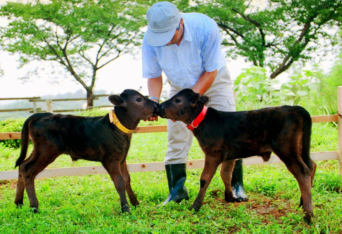 Cloned twin calves, Kaga, right, and Noto, kiss each other as they are grown up to the size of a standard calf at the Ishikawa Prefectural Livestock Research Center in Oshimizu, northwest of Tokyo, Friday, Aug. 7, 1998. The twins, born on July 5, 1998, exactly two years after Dolly, the British sheep that made history by becoming the first adult-animal clone, are among five surviving calves in Japan out of 10 produced in the same way as Dolly. (AP Photo/Asahi Shimbun, Yasuyoshi Chiba) --JAPAN OUT--