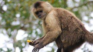 Un ejemplar de mono capuchino.