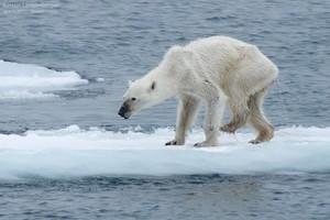 Imagen del oso polar desnutrido compartida por Kerstin Langenberger.