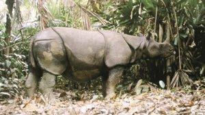 Un rinoceronte de Java.