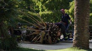 La parte superior de la palmera que, el martes pasado, se deplomó causando una víctima mortal en el parque de la Ciutadella.