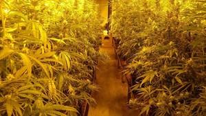 Agentes de los Mossos han decomisado más de 2.000 plantas de marihuana.
