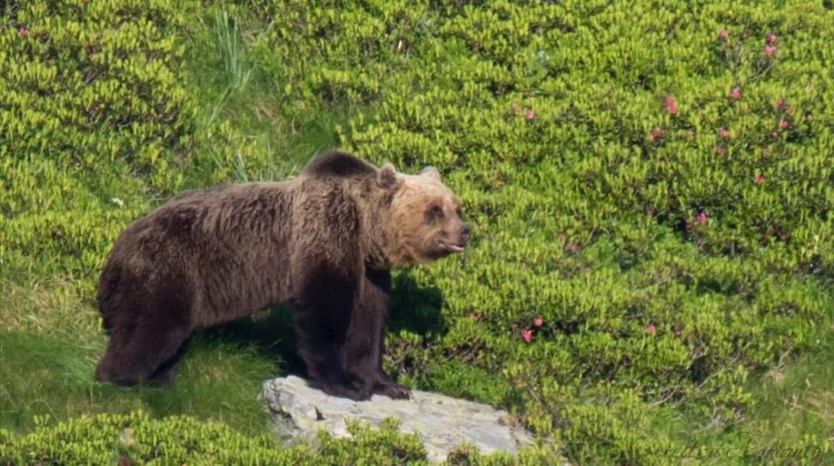 Un ejemplar de oso pardo