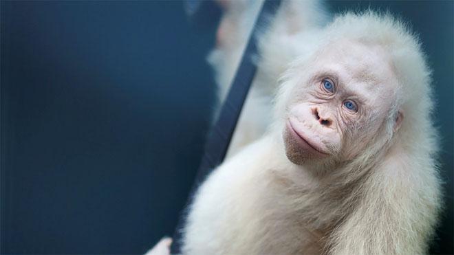 Liberada Alba,la orangutana albina