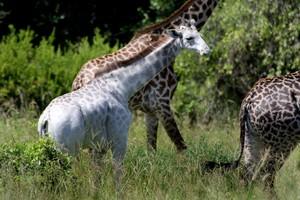 Omo, la jirafa blanca que corre peligro en Tanzania