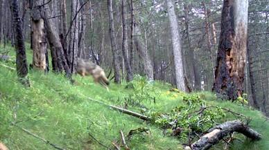 Tres lobos deambulan por el Pirineo catalán