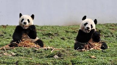 Los pandas se alejan del peligro de extinción