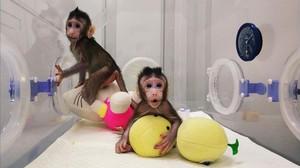Neixen dos primats clonats amb la mateixa tècnica amb la qual es va crear l'ovella 'Dolly'