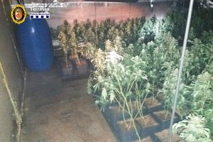 Descubren una plantación de marihuana en Terrassa.