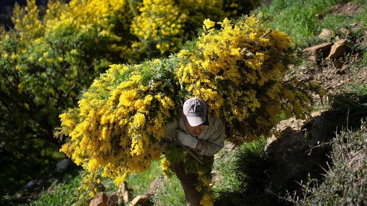 Un hombre porta mimosa cerca de la ciudad de Seborga, en el norte de Italia.